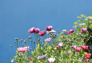 Pink poppy flowers and blue sky in the background