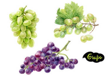 Grapes branches illustration