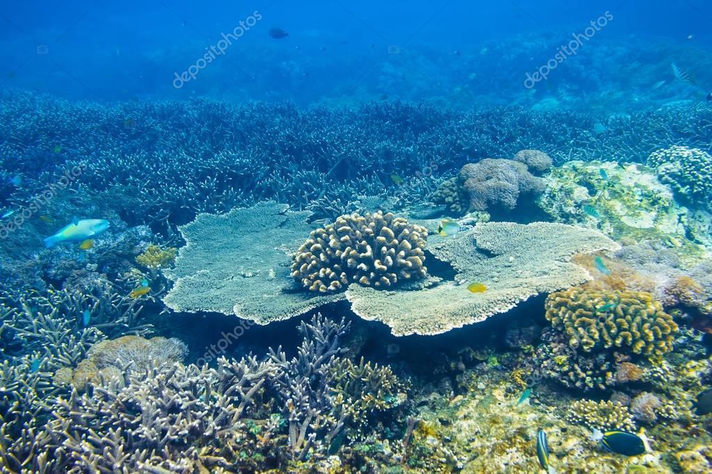 Tropical corals reef in ocean.