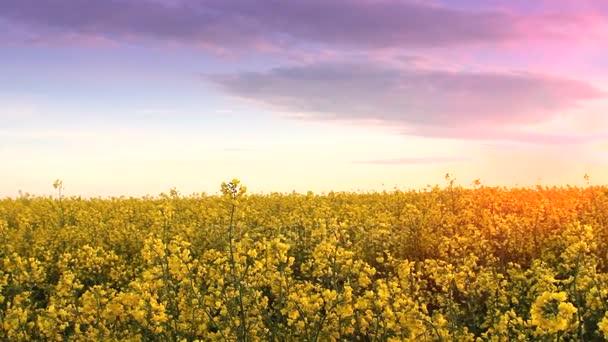 Repce field naplementekor. Repce virág közeli pillantást az arany nap