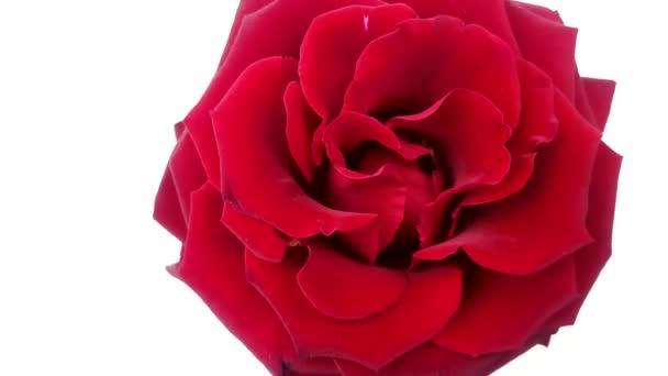 Piros rózsa, fehér háttér forgatható. Végtelenített videóinak
