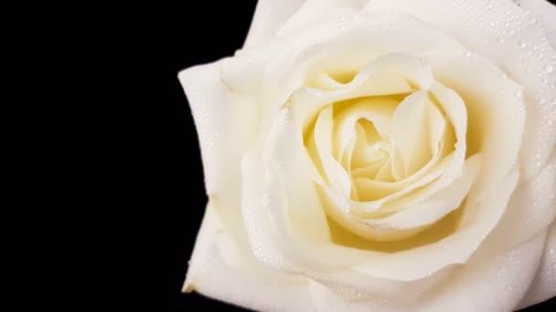 Forgó fekete háttér fehér Rózsa. Hurok felvételek.
