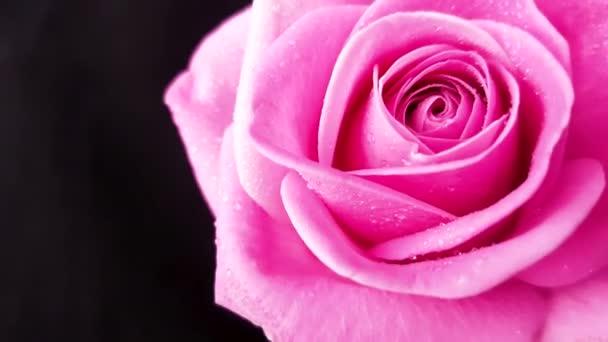 Růžové růže, otáčení na černém pozadí. Loop záznam.