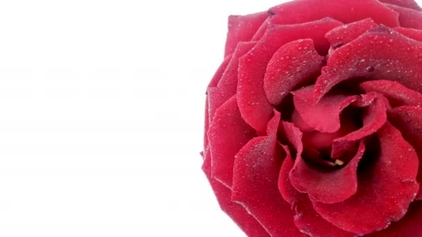 Červená růže s vodou kapky, otáčení na bílém pozadí. Cyklických video