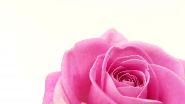 Růžové růže, otáčení na bílém pozadí. Opakování záběrů.