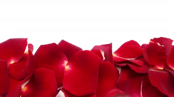 Red rose petals on white background.