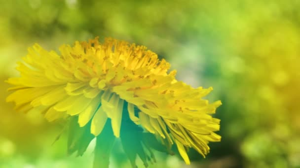 Žluté pampelišky květiny v zahradě. Detailní záběr makro