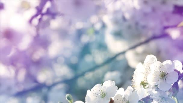 A fák baranch pasztell hangon cseresznyevirág virág.