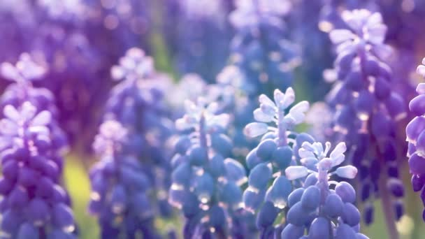 Close up of blue flowers Muscari. Spring flower background.