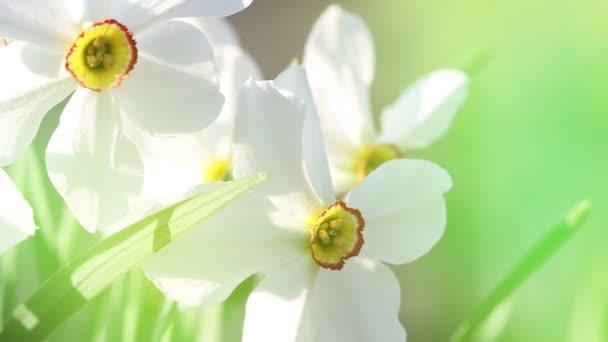 Bílá jarní květ zblízka makro v pastelových barvách