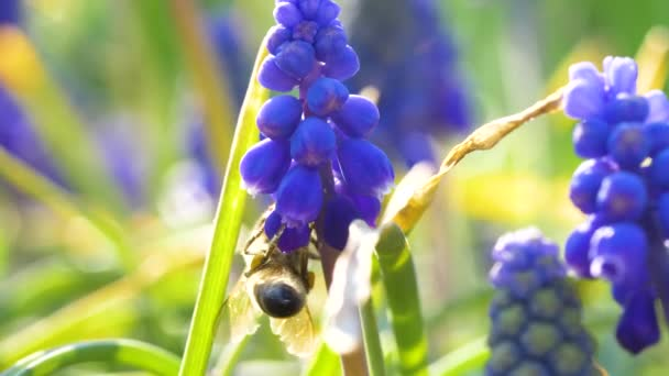Nice Grape Hyacinth blue flowers with bee flying around. Close up slow motion footage. Nature background.