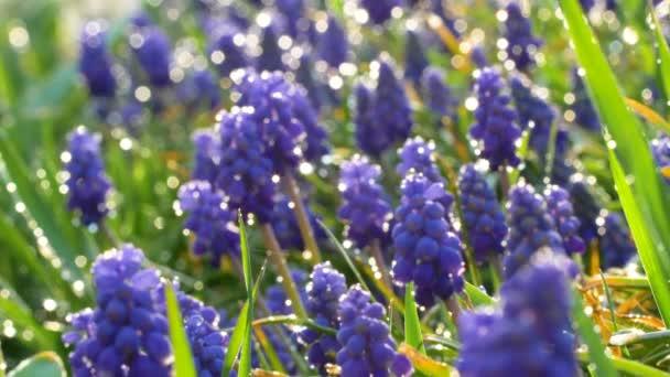Pěkné hrozny Hyacinth modré květy s kapkami vody a sluneční světlo odraz na zelené trávě. Uzavřete zpomalené záběry. Pozadí přírody.