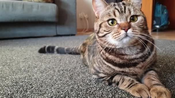 beautiful marble British cat lies on the carpet for watching