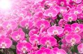 Design růžové orchideje pro backgournd