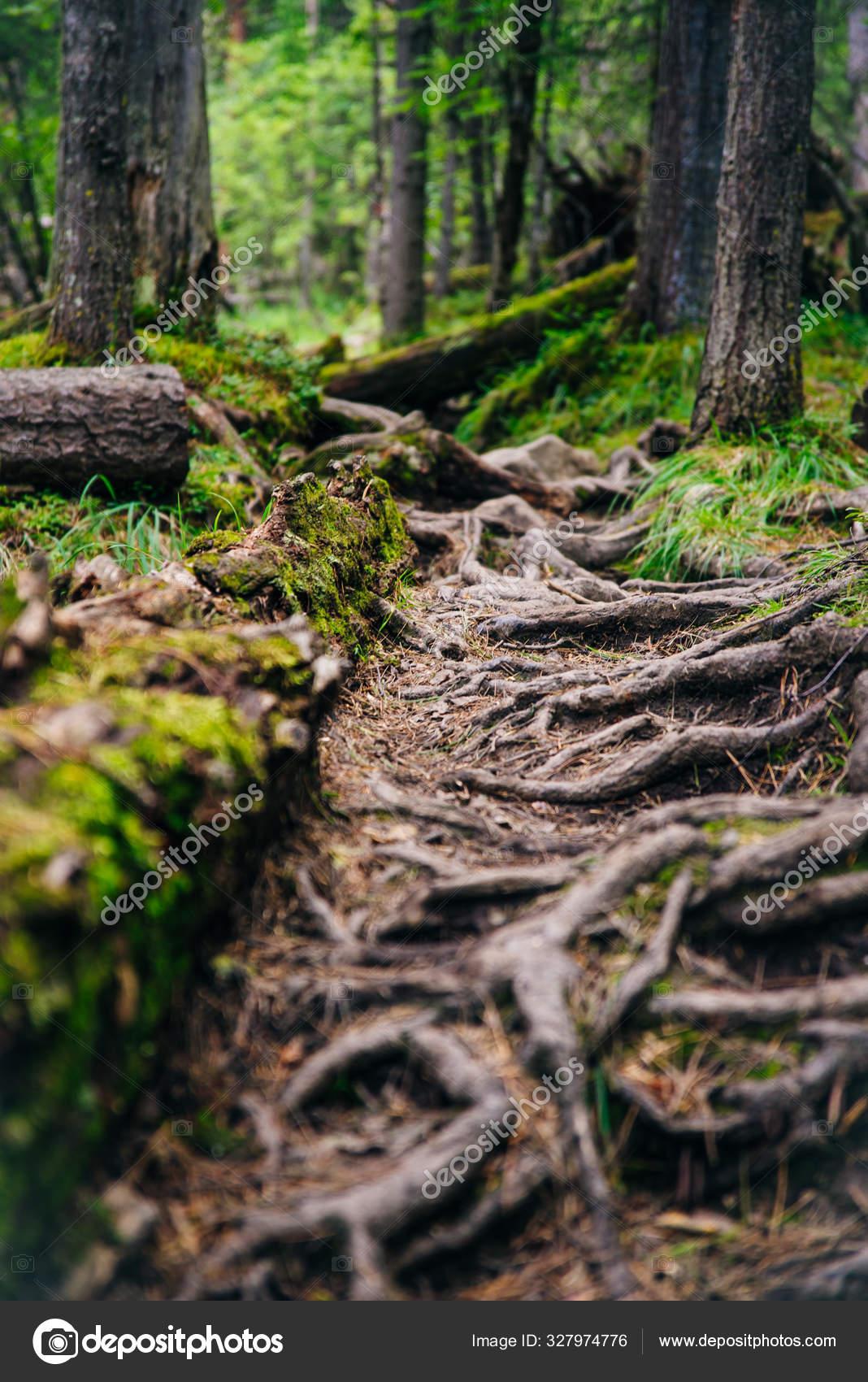 Лесная тропа с корнями деревьев. Пешие прогулки в хвойных ...