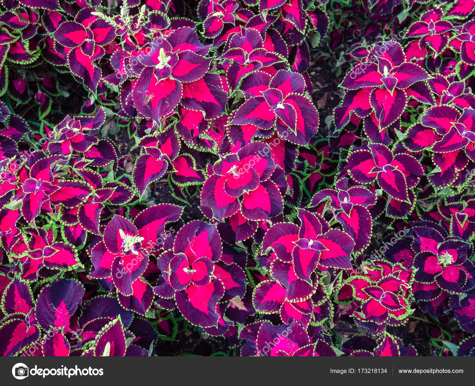 Coleus blumei fondo de plantas ornamentales fotos de for Cuales son las plantas ornamentales