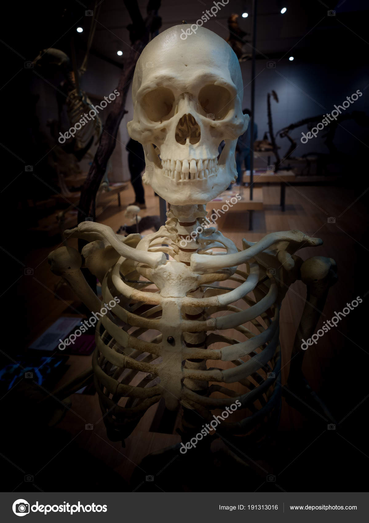 Detail Of The Skeleton Of A Human Body Stock Photo Isaac74