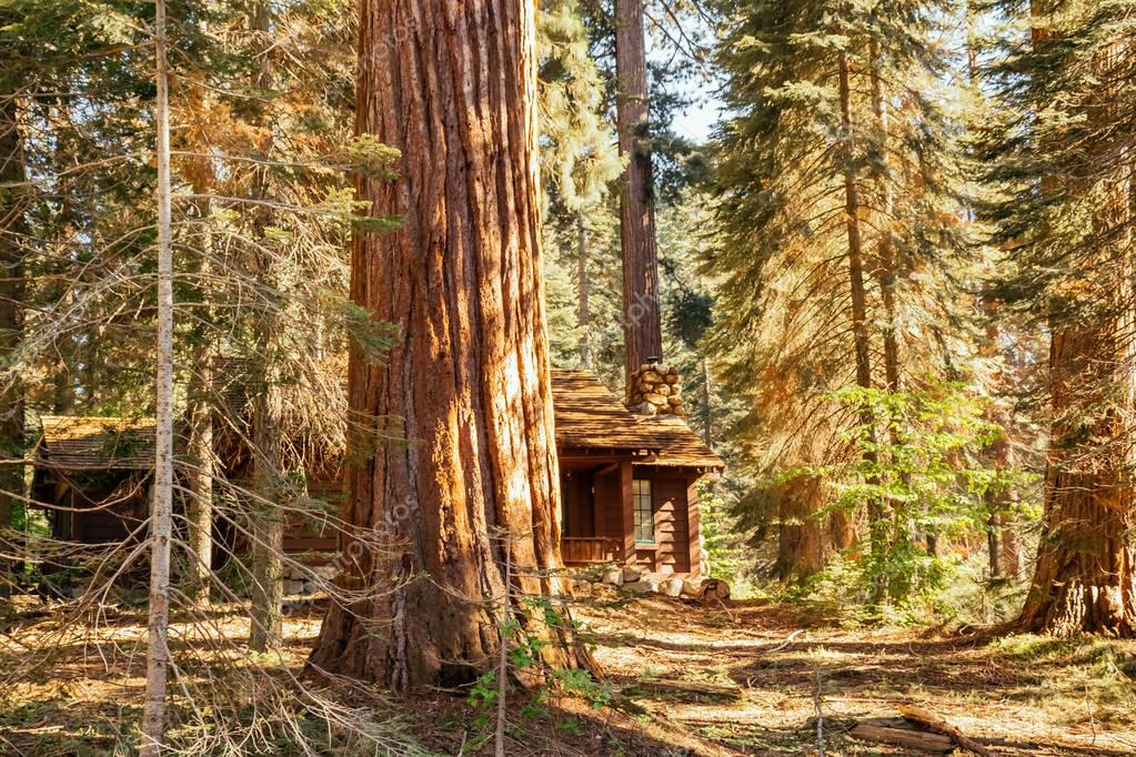 Majestic sequoias and an old wooden forest house. Sequoia National Park, California