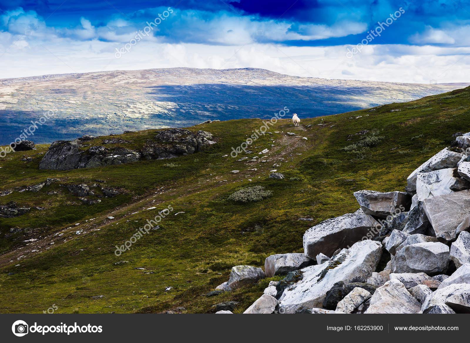 Priorità Bassa Di Paesaggio Di Pecore Di Montagna Norvegia Foto