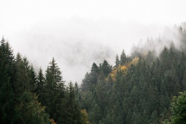 mountains with fir trees covered with fog