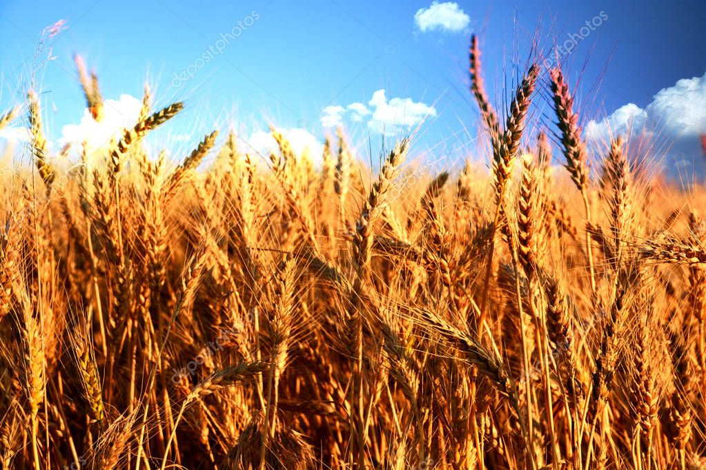 Golden wheat field before harvest during a summer day
