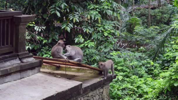 Three cute monkey on building background in tropical forest in Indonesia.