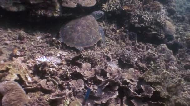 Tengeri teknős, az alsó zár megjelöl víz alatti természet Fülöp-szigetek