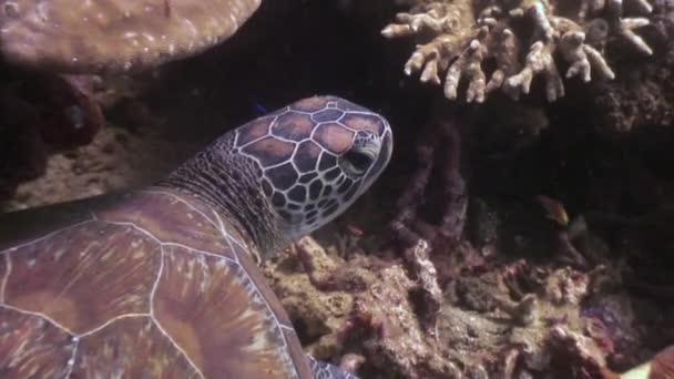 Tengeri teknős alsó korallok, víz alatti természet Fülöp-szigetek.