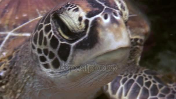 Teknős fejét a tengerfenék közelről víz alatti természet Fülöp-szigetek.
