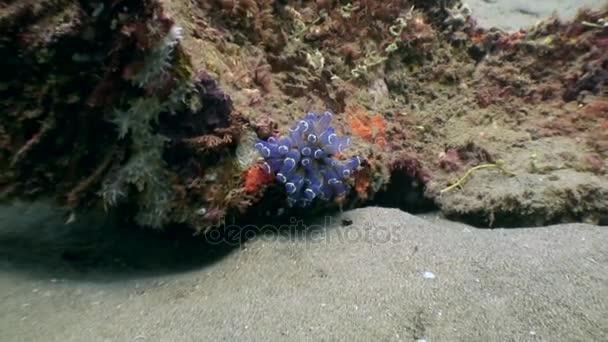 Anemone actinium pod vodou na hlubokém moři přírody Filipíny.