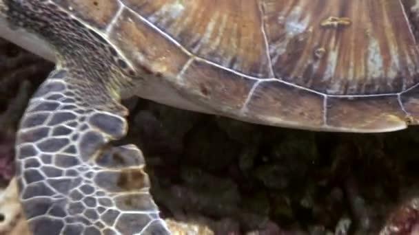 Paws tengeri teknős alsó közelről víz alatti természet Fülöp-szigetek