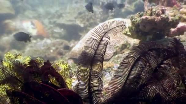 Škola barevných ryb a Rudé moře lilie pod vodou v oceánu Filipíny.