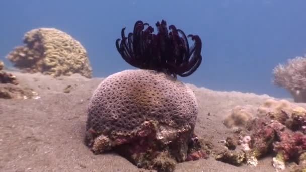 Rudé moře lilie na korály pod vodou v oceánu wildlife Filipíny.