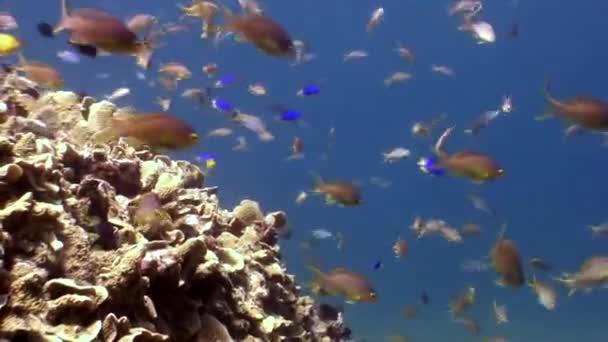 Škola barevných ryb pod vodou v oceánu wildlife Filipíny