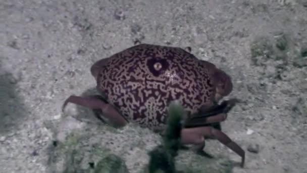 Krabbe unter Wasser auf Meeresboden in Korallen des Ozeans.