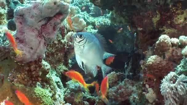 A háttérben a víz alatti táj, a Vörös-tenger sárga hal iskola.
