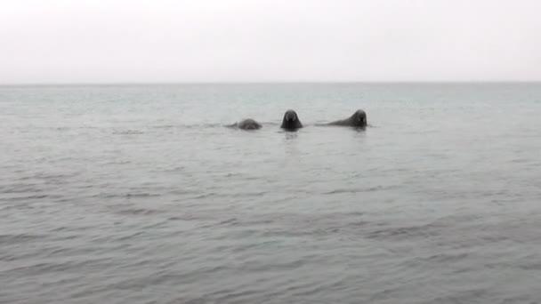 Group of walruses swim in cold blue water of Arctic Ocean in Svalbard.