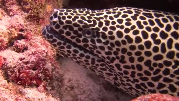 Kopf der Muräne Leopardenfarbe auf Hintergrund Korallen unter Wasser in Malediven.