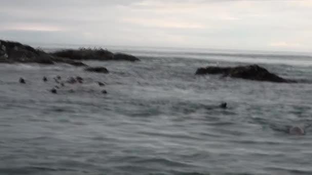 Medvefóka merülés víz a Csendes-óceán Alaszkában háttér partján.