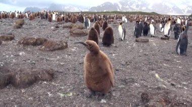 Felnőtt és a fiatal király pingvinek a Falkland-szigetek