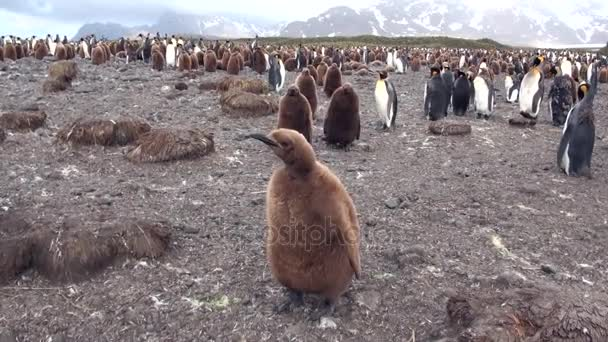 Adults and young king penguins on the Falkland Islands.
