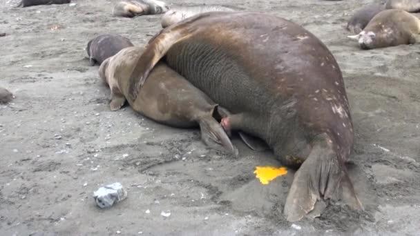 Közösülés a szaporodás és az Antarktiszon újszülött borjak tömítések