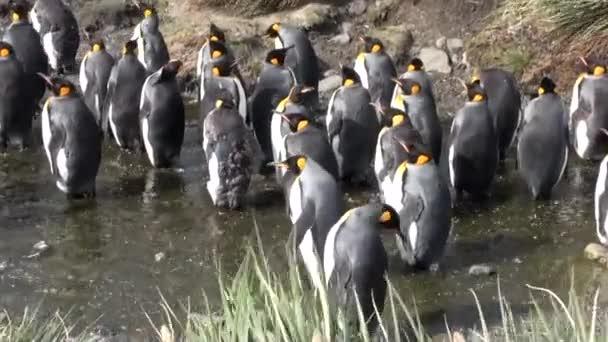 Imperiální tučňáci v potoce, na pozadí zelených hor z Falklandských ostrovů.
