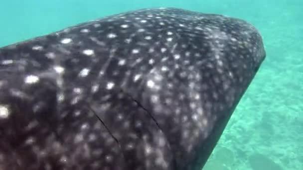 Walhai unter Wasser auf Nahrungssuche auf dem Meeresboden der Malediven.