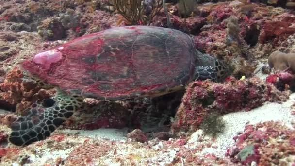 Sea tortoise turtle on background colorful corals underwater in sea of Maldives.