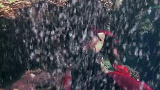 junges Mädchen Modell Freitaucher unter Wasser in rotem Piratenkostüm im roten Meer.