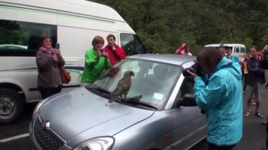 People photograph bird on the roof of the car in green mountains of New Zealand.