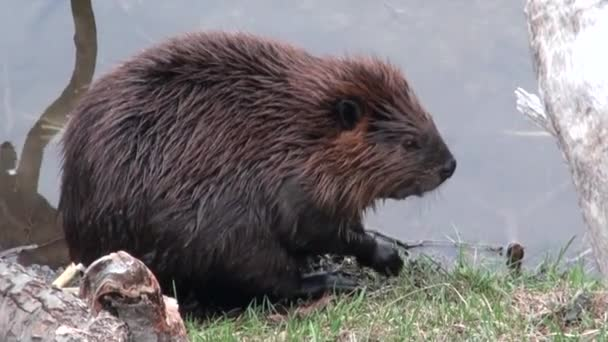 Beavers eat in water dams on background of dry logs and trees in Ushuaia.