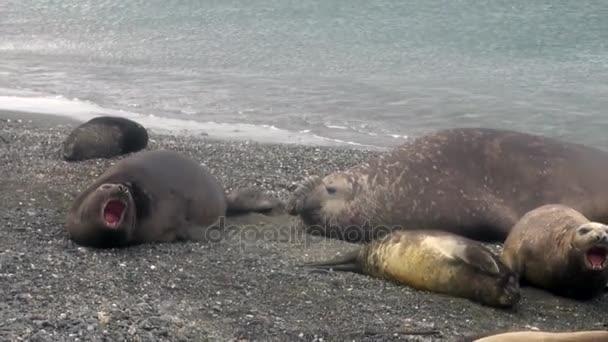Női és férfi-tengerparton, a Falkland-szigetek Antarktisz tömítések csoport.