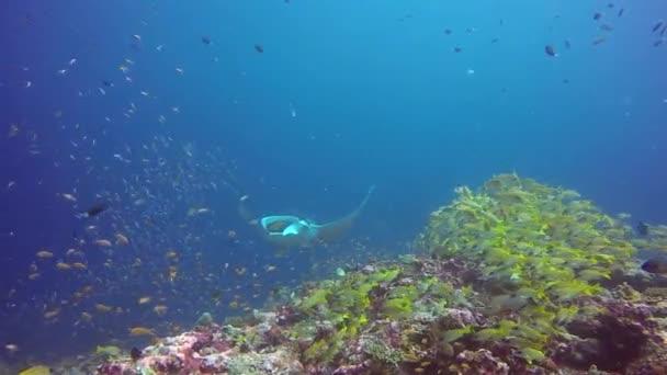 Manta ray relaxovat v pruhované kanic školy ryb mořské dno v jasné modré vodě